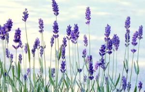 цветы лаванды целебной