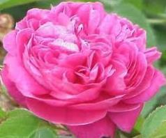 свойства розы
